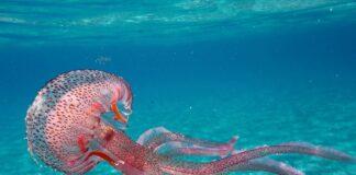 Solar Power From Jellyfish?